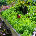 Cab Baber - Big Island Herbs - Organic Farmer Hawaii