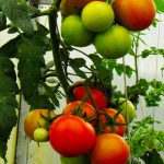 Vegan Organic Tomatoes - Clarence A Baber - Cab - Hawaii Sustainable Environmental Management
