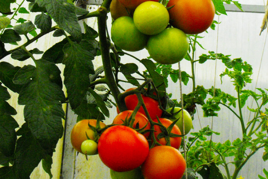 Products - Vegan Organic Tomatoes - Clarence A Baber - Cab - Hawaii Sustainable Environmental Management
