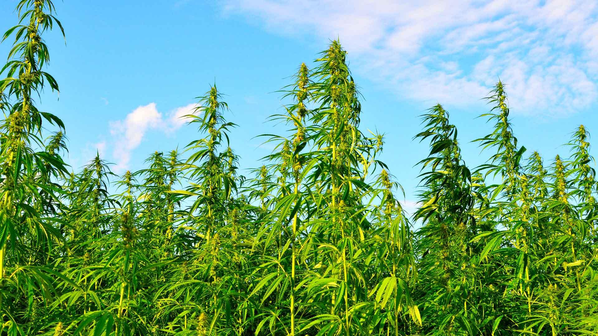 Industrial Hemp Hawaii - Cab Baber - Clarence Baber - Big Island Herbs